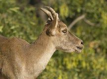 Cabra-montesa de Iberico Foto de Stock Royalty Free