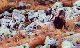 Cabra-montesa de Tatra Fotos de Stock Royalty Free