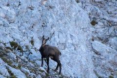 Cabra-montesa do bebê nas montanhas imagens de stock royalty free