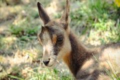 Cabra-montesa do bebê Fotos de Stock