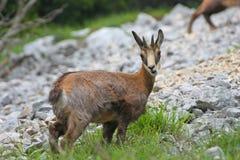 Cabra-montesa do bebê com os chifres em sua cabeça, cercada por montanhas Fotos de Stock