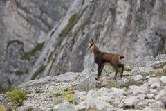 Cabra-montesa do miúdo Foto de Stock