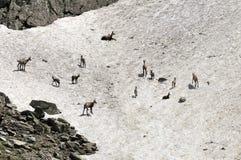 Cabra-montesa e miúdos fêmeas na mola. France Foto de Stock