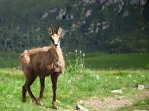 Cabra-montesa em montanhas de Eslováquia Fotografia de Stock Royalty Free