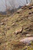 Cabra-montesa em Pyrénées Imagens de Stock