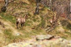 Cabra-montesa em Pyrénées Imagem de Stock Royalty Free