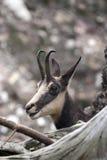 Cabra-montesa em seu ambiente natural imagens de stock