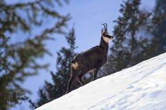 Cabra-montesa em uma inclinação nevado Imagens de Stock Royalty Free