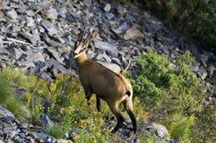 Cabra-montesa fêmea Imagens de Stock