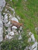 Cabra-montesa funky do bebê com os chifres em sua cabeça, cercada pelo mountai Foto de Stock