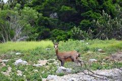 Cabra-montesa funky do bebê com os chifres em sua cabeça, cercada Foto de Stock