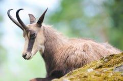 Cabra-montesa (lat. rupicapra do rupicapra) Fotos de Stock