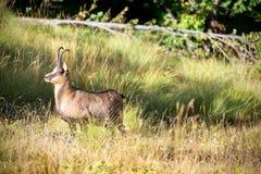 Cabra-montesa masculina do apennine Fotos de Stock Royalty Free