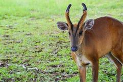 Cabra-montesa na grama Fotos de Stock