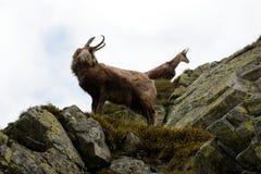 Cabra-montesa na névoa em montanhas de Tatra Imagem de Stock