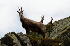 Cabra-montesa na névoa em montanhas de Tatra Fotografia de Stock