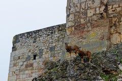 Cabra-montesa na parede velha do castelo Imagens de Stock Royalty Free