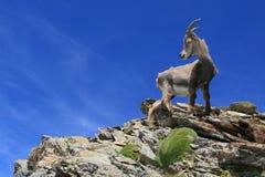 Cabra-montesa nas montanhas Fotos de Stock Royalty Free