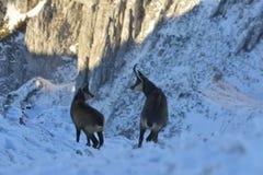 Cabra-montesa, cabra-montesa no cio Fotografia de Stock
