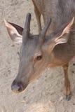 Cabra-montesa no jardim zoológico Fotos de Stock