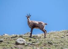Cabra-montesa no parque de Gran Paradiso Imagens de Stock Royalty Free