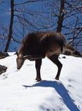 Cabra-montesa nos mountais Fotografia de Stock Royalty Free