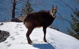 Cabra-montesa nos mountais Imagem de Stock