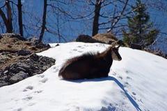 Cabra-montesa nos mountais Fotos de Stock Royalty Free