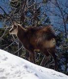Cabra-montesa nos mountais Foto de Stock