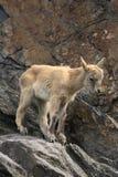 Cabra-montesa pequena Imagem de Stock