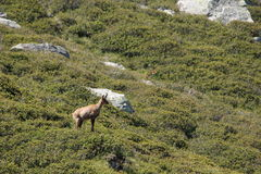 Cabra-montesa pirenaica Imagens de Stock Royalty Free