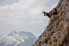 Cabra-montesa que olha para baixo Fotos de Stock
