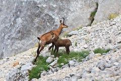 Cabra-montesa (Rupicapra Carpatica) Imagens de Stock Royalty Free
