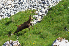 Cabra-montesa (Rupicapra Carpatica) Fotografia de Stock
