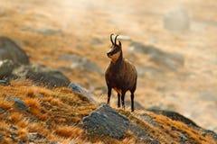 Cabra-montesa, rupicapra do Rupicapra, no monte rochoso com grama do outono, montanha em Gran PAradiso, Itália Cena dos animais s imagens de stock royalty free