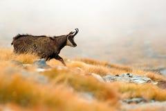 Cabra-montesa, rupicapra do Rupicapra, no monte rochoso com grama do outono, montanha em Gran PAradiso, Itália Cena dos animais s fotografia de stock