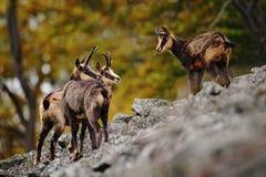 Cabra-montesa, rupicapra do Rupicapra, no monte rochoso, floresta no fundo, monte de Studenec, República Checa Cena dos animais s foto de stock