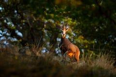 Cabra-montesa, rupicapra do Rupicapra, no monte rochoso, floresta no fundo, monte de Studenec, República Checa Cena dos animais s imagem de stock