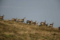 Cabra-montesa, rupicapra do Rupicapra Fotos de Stock