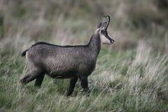 Cabra-montesa, rupicapra do Rupicapra Imagem de Stock