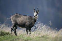 Cabra-montesa, rupicapra do Rupicapra Imagens de Stock