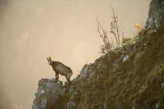 Cabra-montesa, rupicapra do Rupicapra Fotografia de Stock