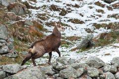 Cabra-montesa (rupicapra do Rupicapra) Imagens de Stock Royalty Free