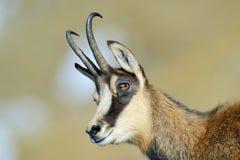 Cabra-montesa (rupicapra do Rupicapra) Imagem de Stock Royalty Free
