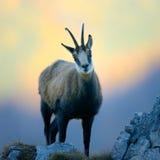Cabra-montesa (rupicapra do rupicapra) Imagens de Stock
