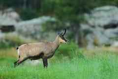 Cabra-montesa, rupicapra do Rupicapra, na grama verde, rocha cinzenta no fundo, Gran Paradiso, Itália Foto de Stock