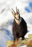 Cabra-montesa - rupicapra, Tatras Foto de Stock Royalty Free