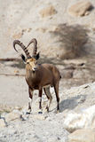 Cabra montés de Nubian Fotografía de archivo libre de regalías