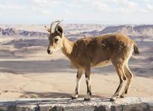 Cabra montés de Nubian (nubiana del Capra) Ramon Crater Desierto del Néguev Israel Imágenes de archivo libres de regalías