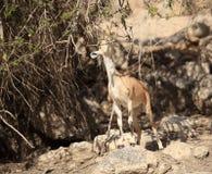 Cabra montés de Nubian que come las hojas de un árbol Fotos de archivo